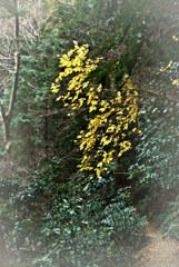 高尾山自然研究路3号 深緑と黄葉