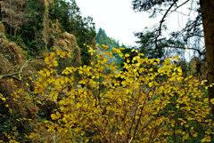 高尾山自然研究路3号 最後の黄葉