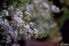 百日紅  可憐な花弁ははらはらと散る
