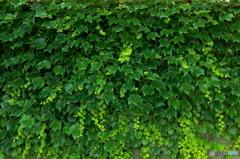 緑の奥行  蔦(つた)