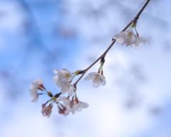 桜2018_3
