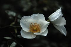 古都の秋麗花…4