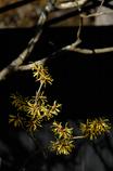 春訪の黄花…1