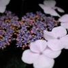 古都の紫陽花便り…10