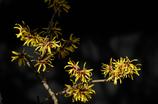 春訪の黄花…2