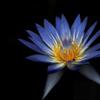 熱帯の群青花…2