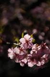 古都の早咲桜…3