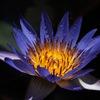 紺藍色の水花…