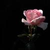 古都に咲く秋バラ…
