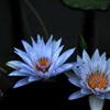 双子の涼色花…