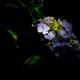 古都の色変花…11