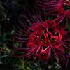初秋の炎花…
