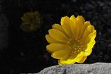 冬庭の黄花…