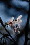 古都の早咲桜…2