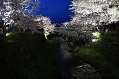 一の坂川 夜桜