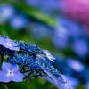 紫陽花、満開。