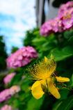 紫陽花の友
