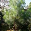 島田雄貴「お寺の樹木」