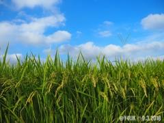 稲穂+オリンパスブルーSky青空と雲〜大好きな旅先でその後の奇跡の1枚〜秋の気配