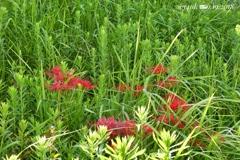雑草の中に彼岸花⇔雑踏の中に小さな奇跡〜秋の気配+緑に映える赤