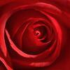 薔薇 カーディナル