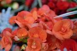 エラチオールベゴニア 橙