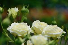 薔薇 ノース フレグランス