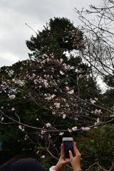 皇居東御苑 十月桜