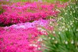 芝桜+スノーフレーク