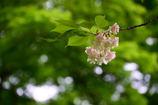 ウコン桜 終盤