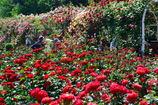 谷津バラ園 薔薇のトンネル