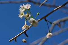 明月院 桜