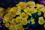 エラチオールベゴニア 黄