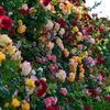 薔薇のトンネル 2