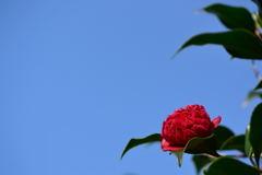 椿 紅ト伴 1