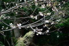皇居東御苑 十月桜 2