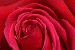 薔薇 アメリカンプライド