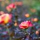 薔薇 チャールストン 2