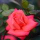薔薇 ニュー アベマリア