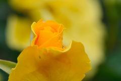 薔薇 オーストラリアンゴールド