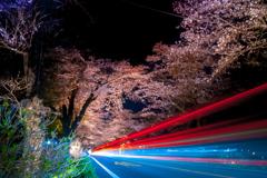 桜並木と光線