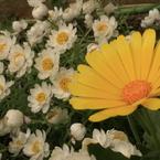 CANON Canon EOS Kiss Digital Xで撮影した(庭の花 黄白)の写真(画像)
