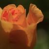 薔薇の黄身