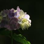 CANON Canon EOS Kiss Digital Xで撮影した(紫陽花 明暗)の写真(画像)