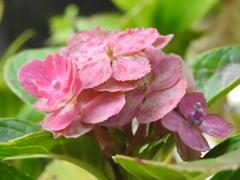 花の御寺の残り花