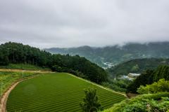 七山の茶畑
