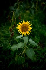 最期の向日葵