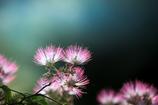昼は咲き夜は恋ひ寝る合歓木の花