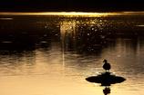 黄金池の水鳥