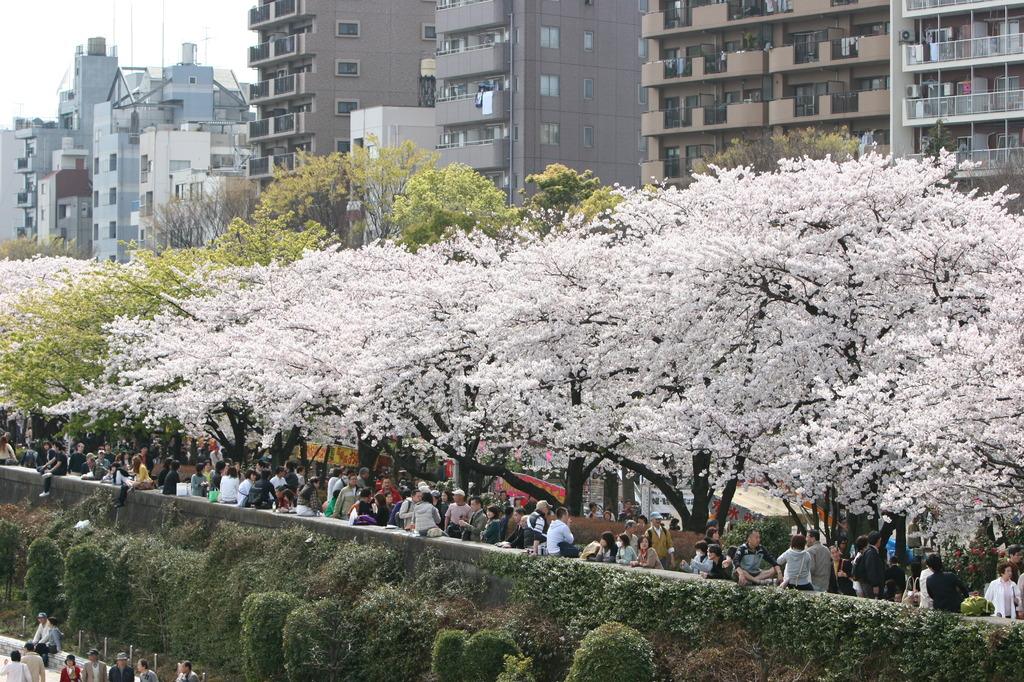 隅田川 さくら